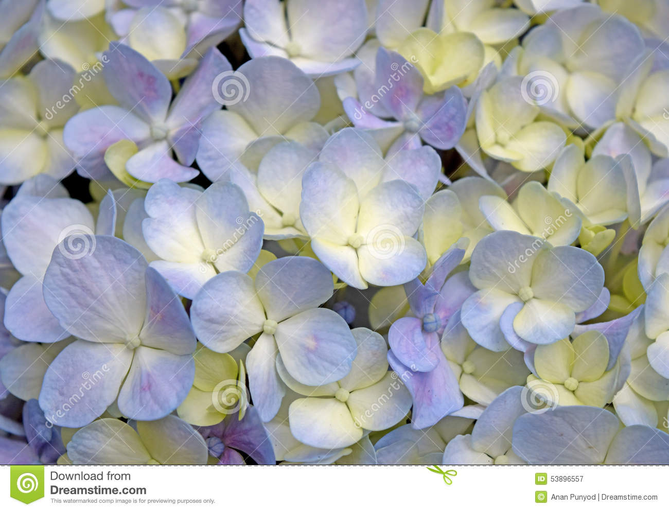 Close up beautiful floral background purple yellow hydrangea flowers download comp mightylinksfo