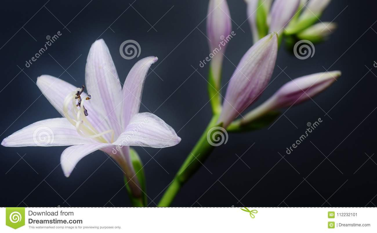 Hosta Flower On A Dark Background Stock Image Image Of Beauty