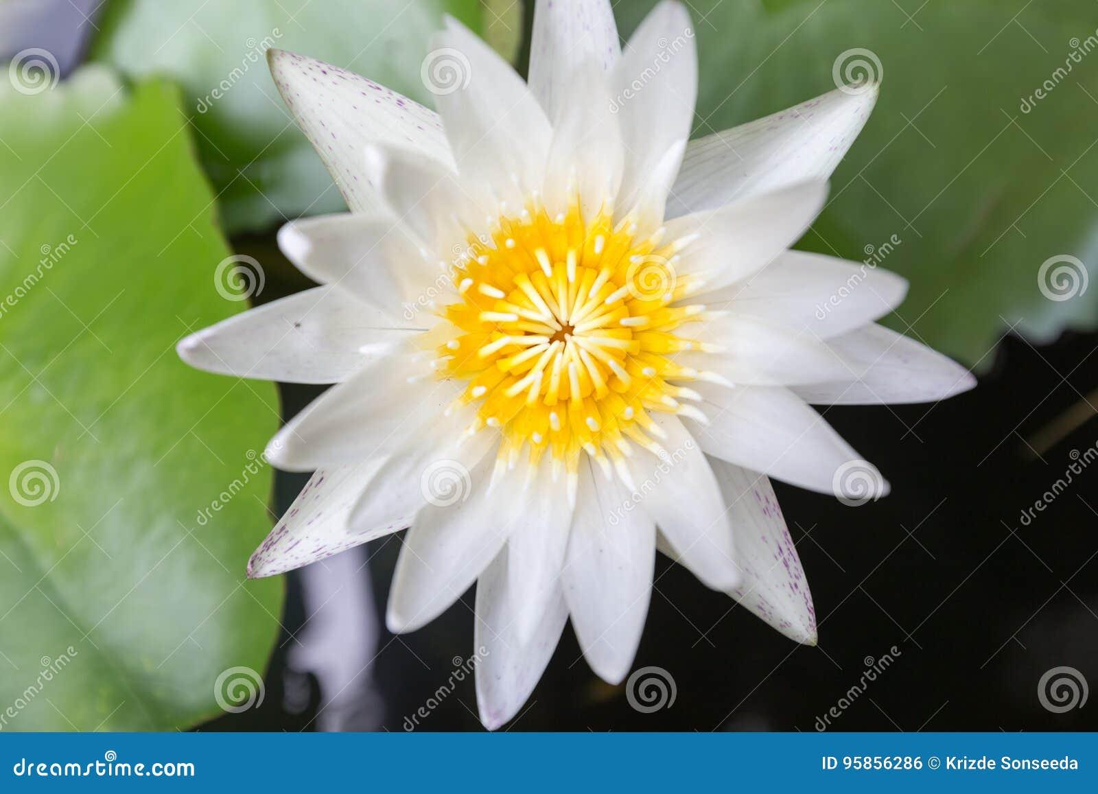 Close up beautiful lotus flower white lotus flower select focus download close up beautiful lotus flower white lotus flower select focus blur or blurred izmirmasajfo