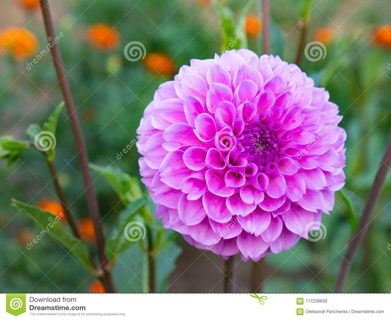 Close Up Of A Beautiful Pink Dahlia Flower Growing In The Garden