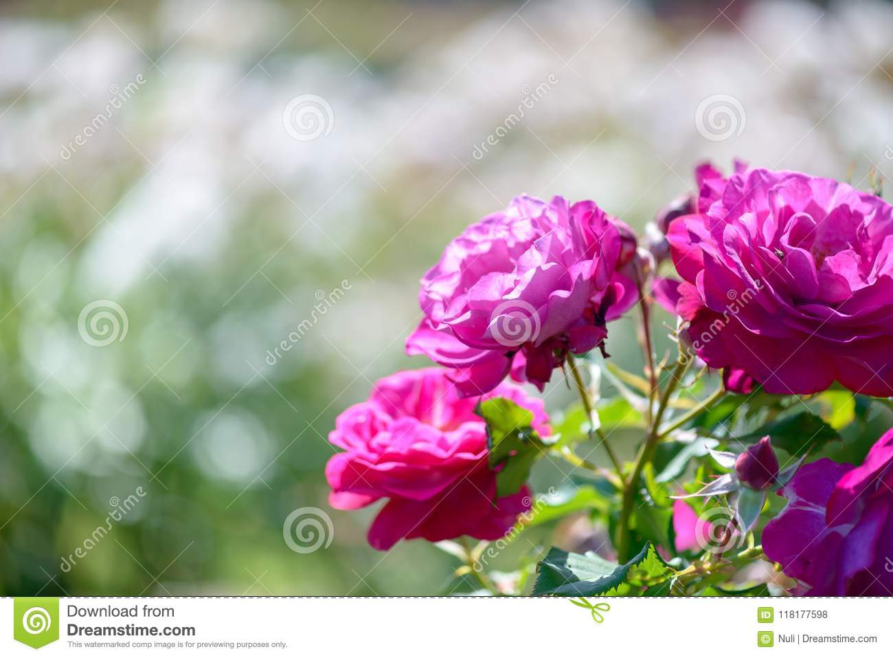Beautiful pink and purple roses flowers with blurred green beautiful pink and purple roses flowers with blurred green background izmirmasajfo