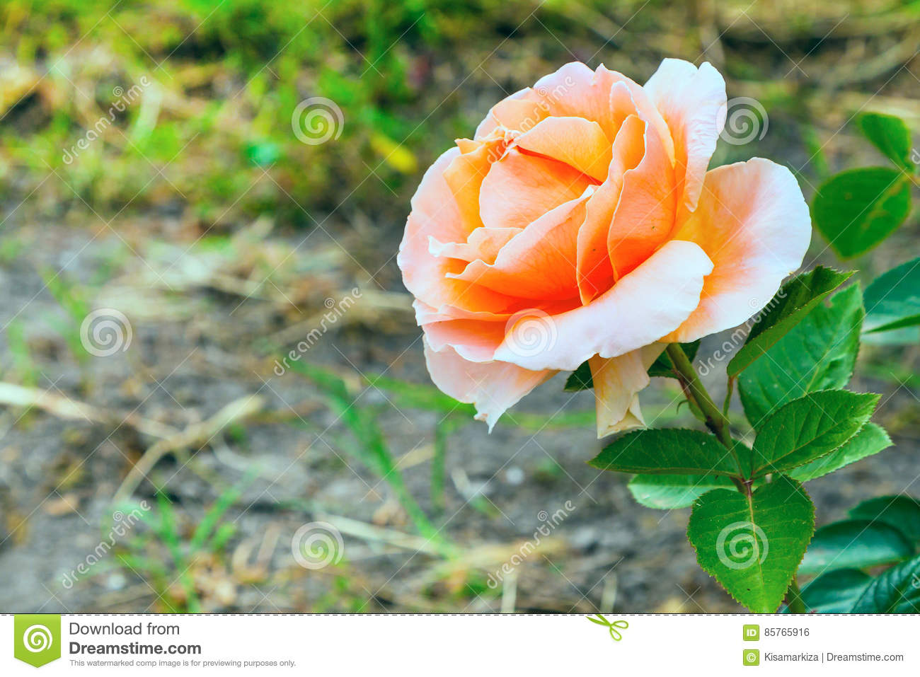 Close up beautiful rose flower happy birthday card stock photo download close up beautiful rose flower happy birthday card stock photo image of izmirmasajfo