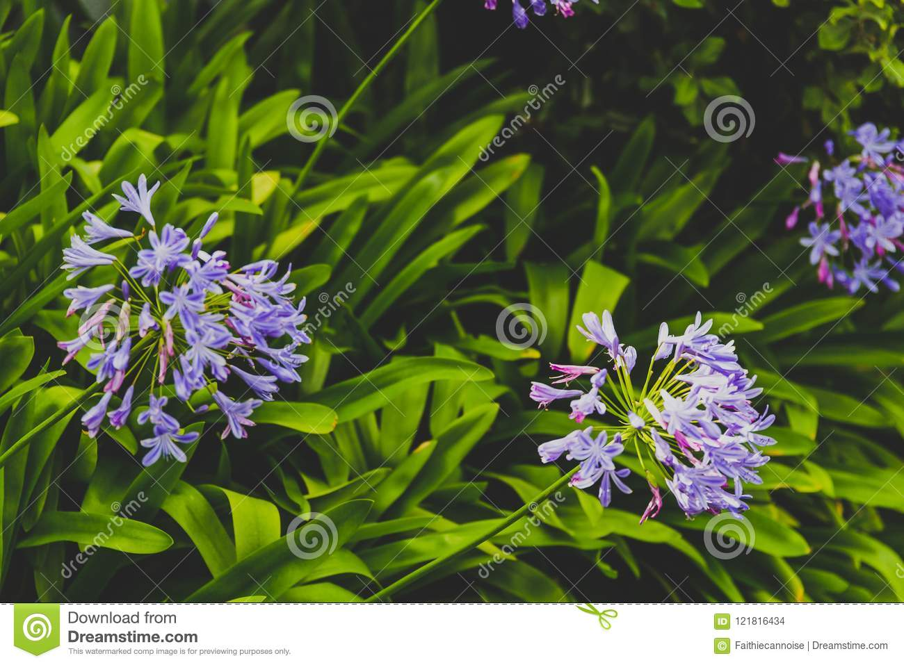 Close Up Of Beautiful Subtropical Agapanthus Lily Of The Nile Pl