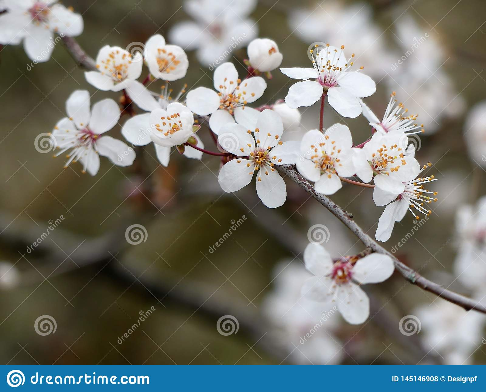 Close-up of beautiful white cherry blossom in springtime