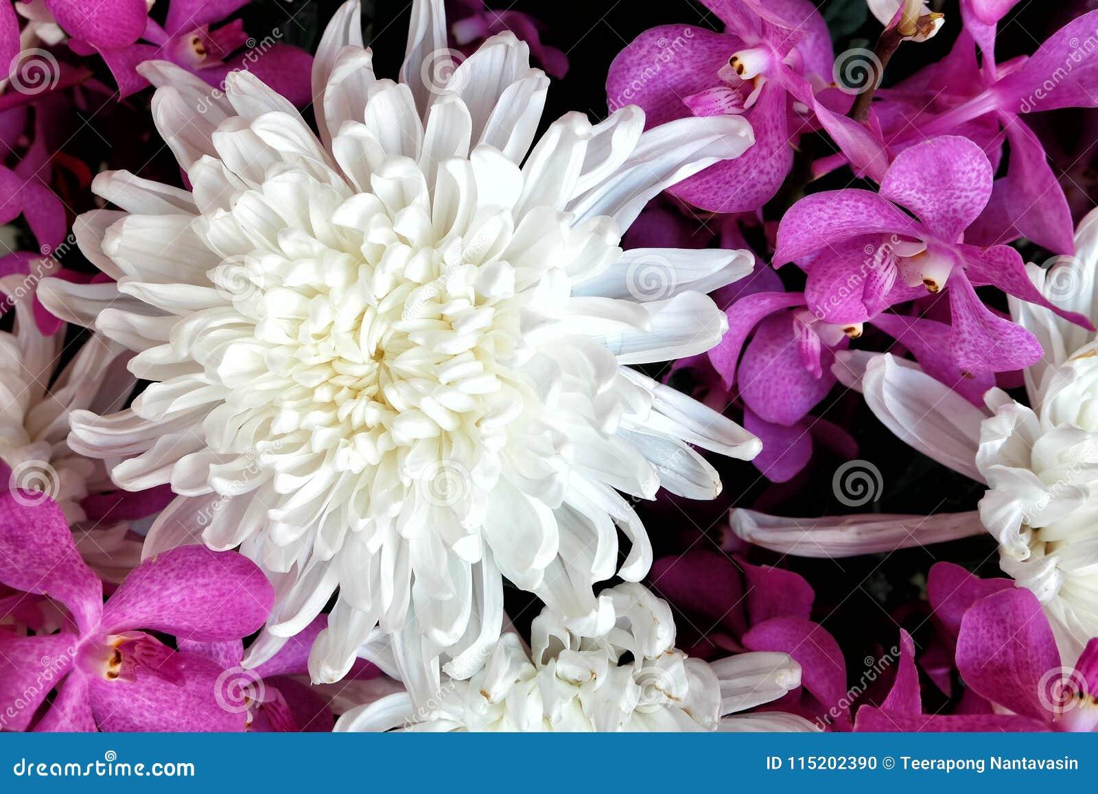 Beautiful white chrysanthemum flower with purple orchid background beautiful white chrysanthemum flower with purple orchid background mightylinksfo