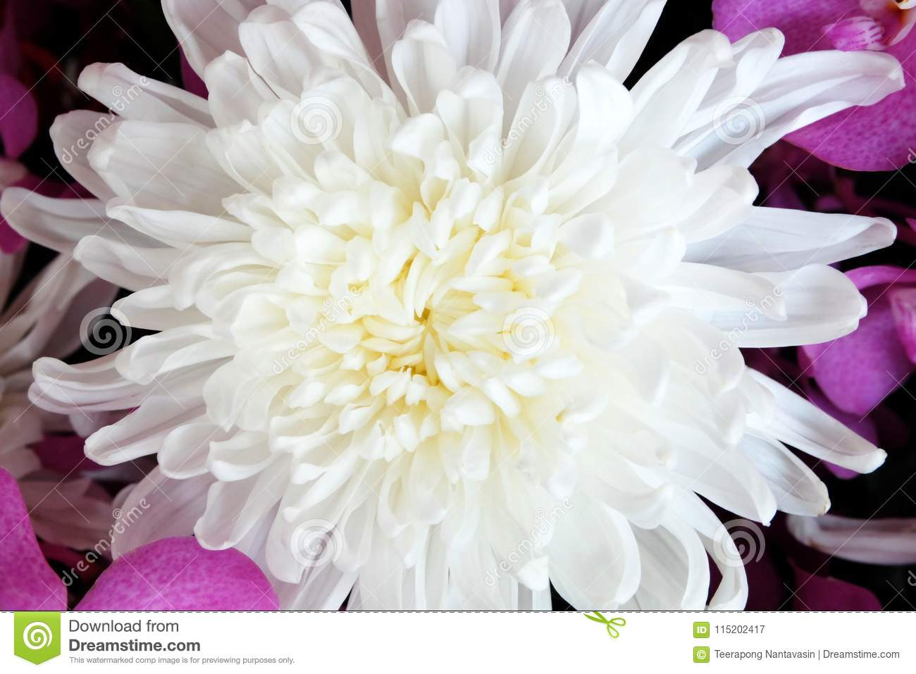 Beautiful White Chrysanthemum Flower With Purple Orchid Background