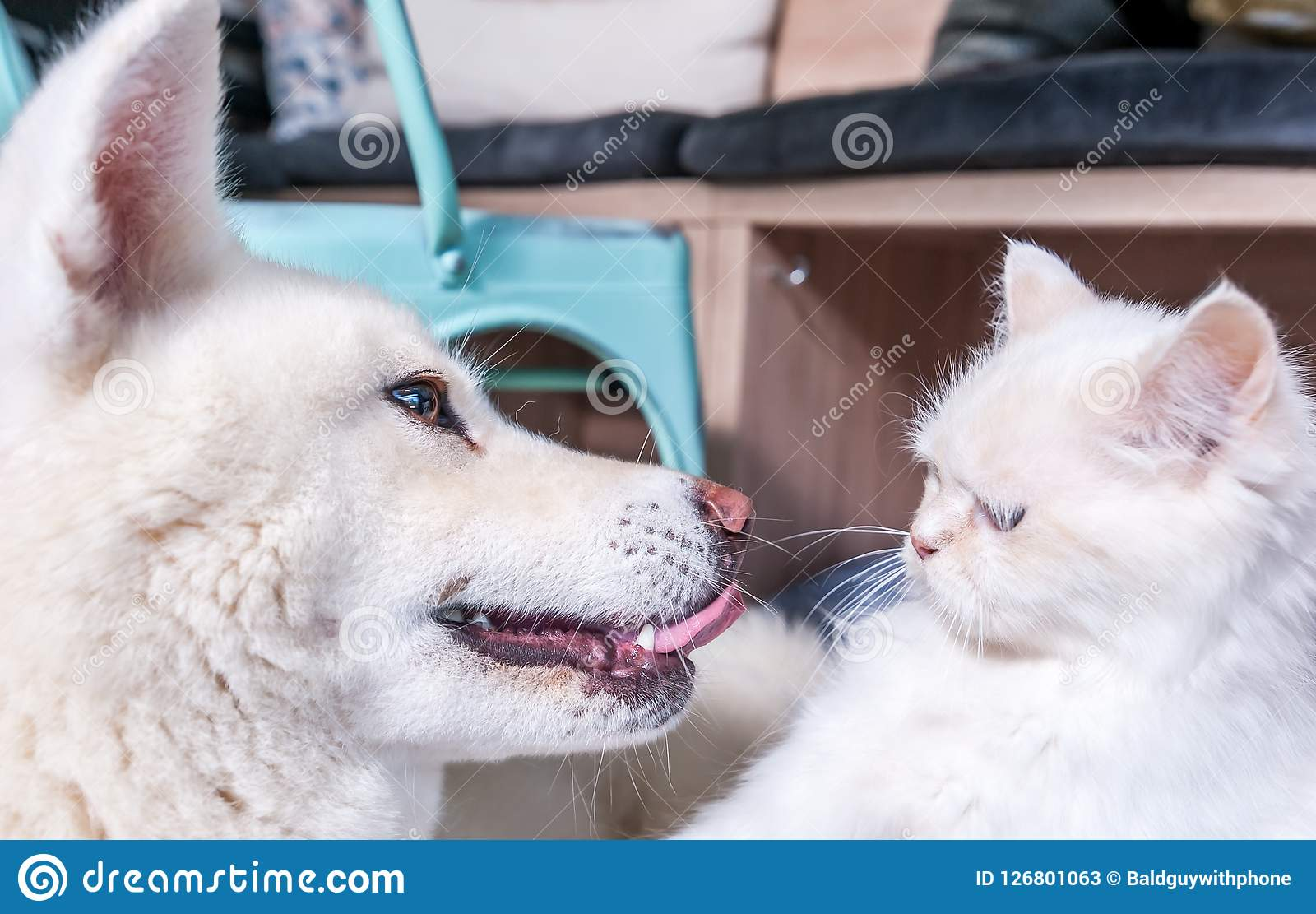 Close up of beautiful white dog and cat Japanese Akita Inu and domestic fluffy cat with funny face expressions
