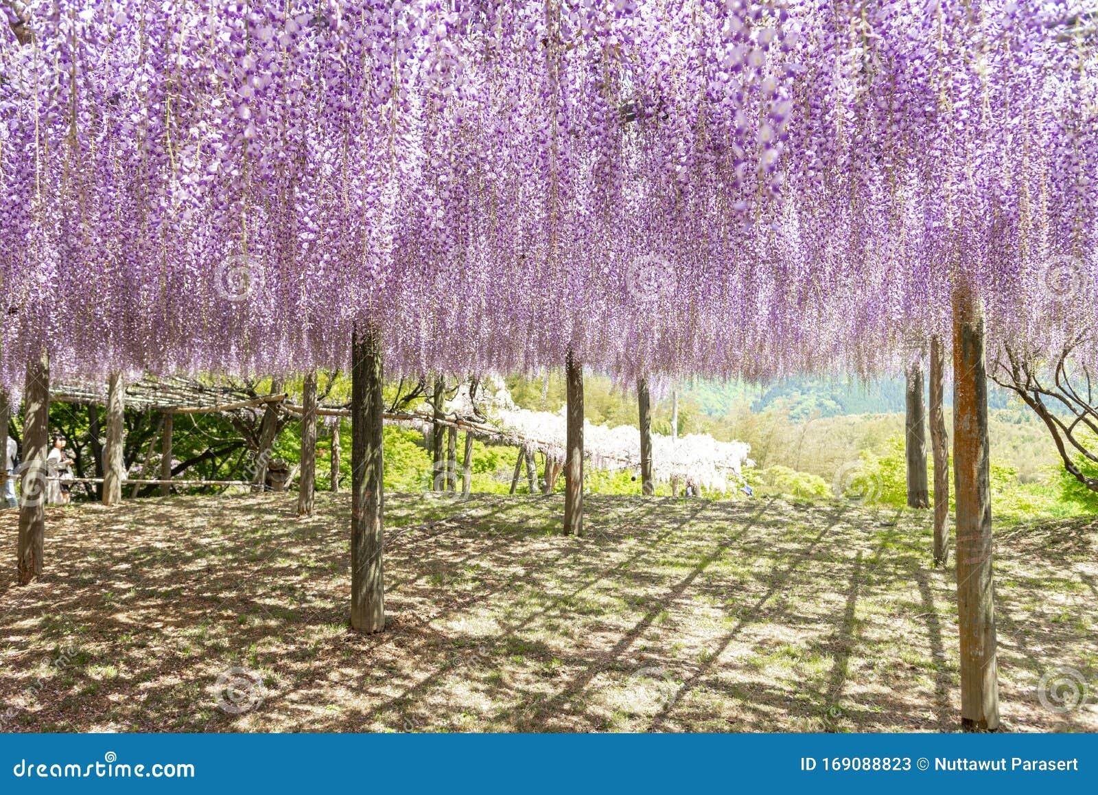 Close Up Of Beautiful Wisteria Flower Tree At Kawachi Fuji Garden Fukuoka Japan Stock Image Image Of Seasonal Blossom 169088823