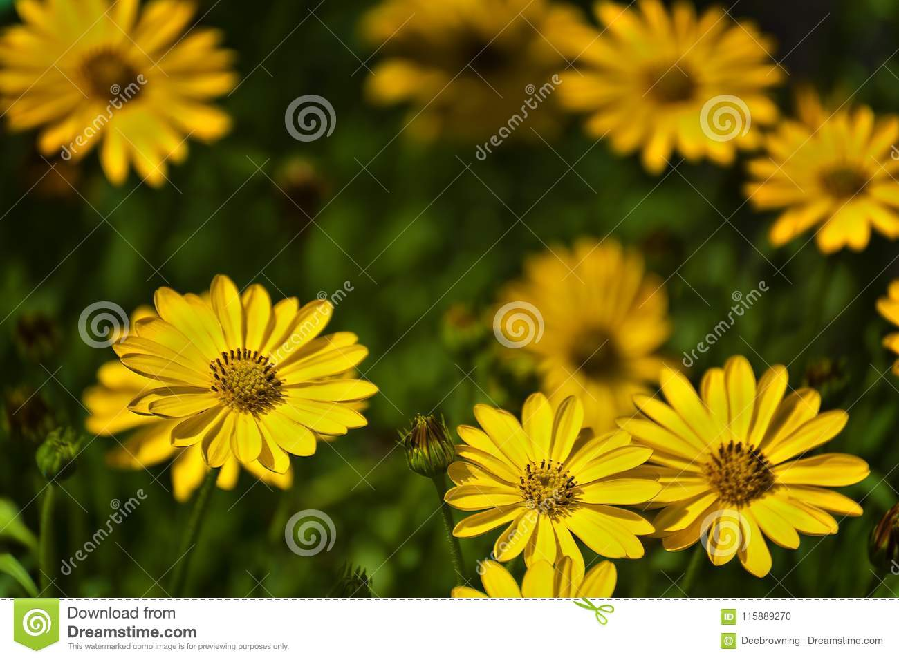 Close Up Of A Bed Of Yellow Asters Stock Photo Image Of Cheerful