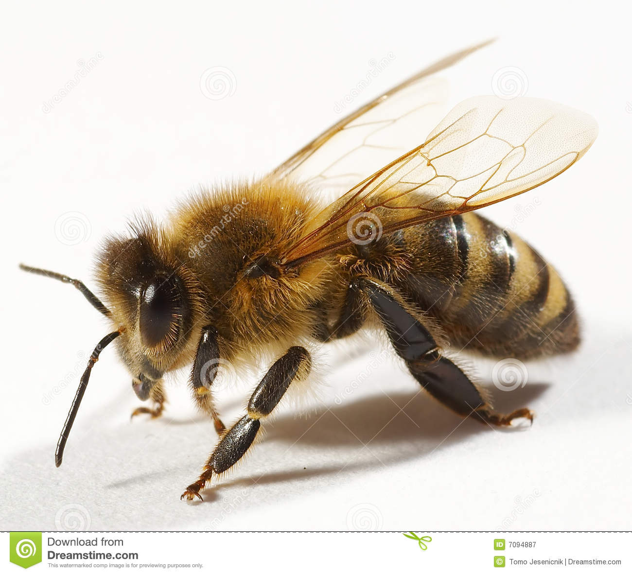 Close up of bee stock image. Image of animal, nature ...