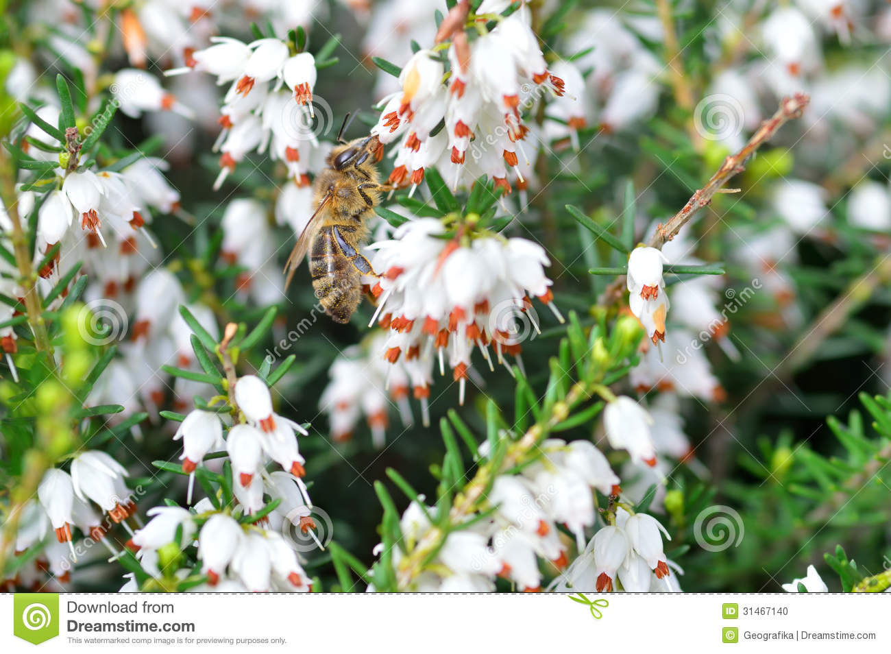 Close Up Of Bee On Erica Carneawhite Winter Stock Photo Image Of