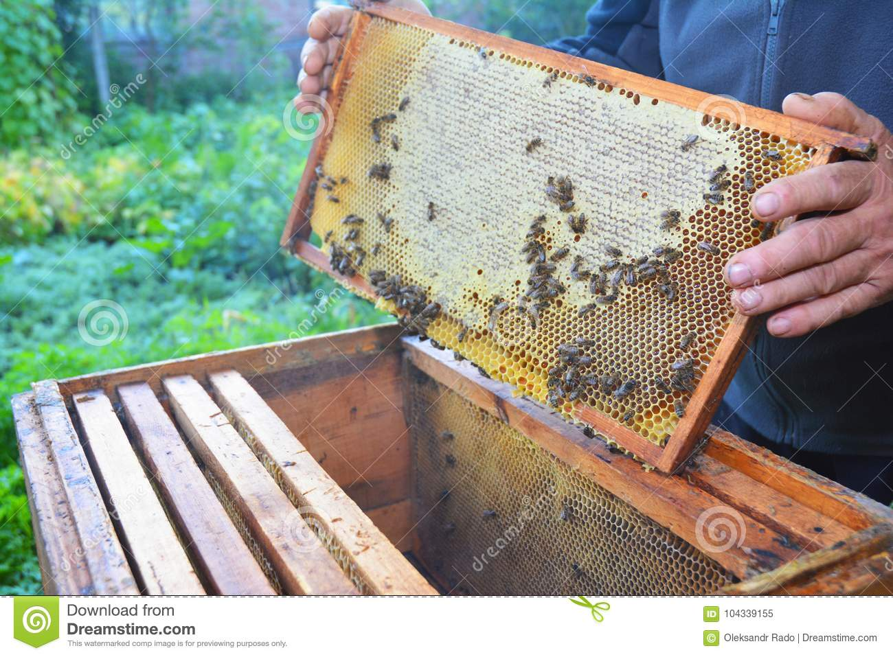 Close up on Beekeeping works. Beekeeper holding with his hands frame of honeycomb from beehive with working honey bees.