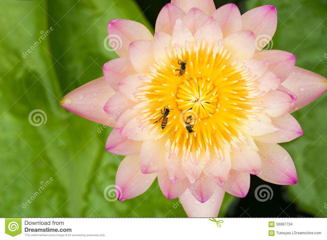 Close Up Of Bees On The Lotus Flower Stock Photo Image Of Asia