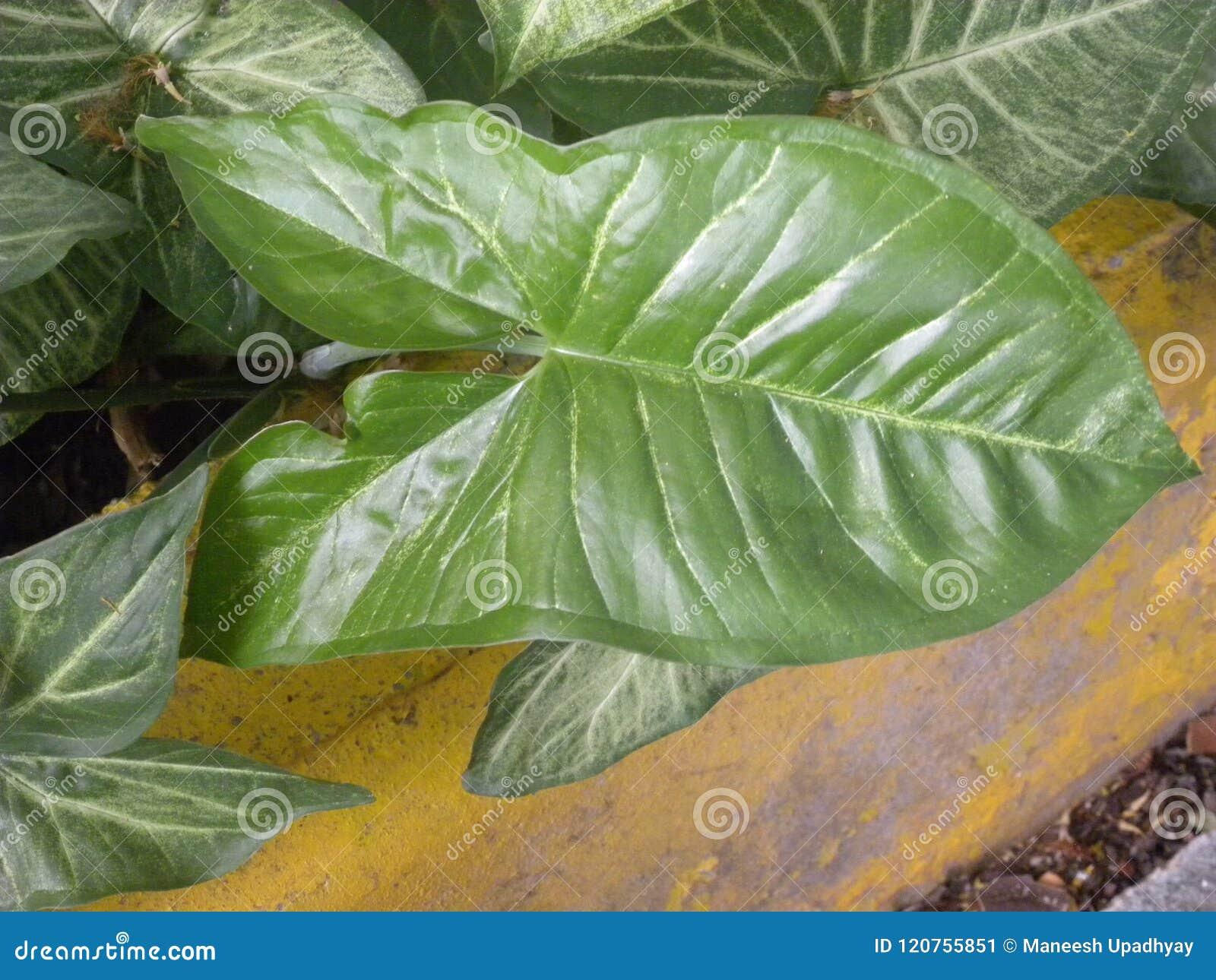 Big Dark Green Color Leaf Of Caladium Plant Stock Image - Image of ...