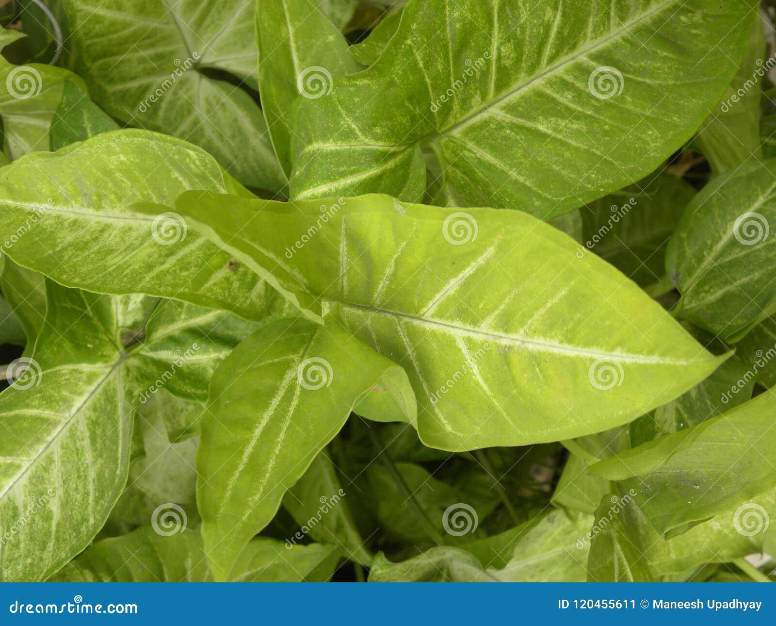 Big Green Leaves Of Caladium Plant Stock Image - Image of freshness ...