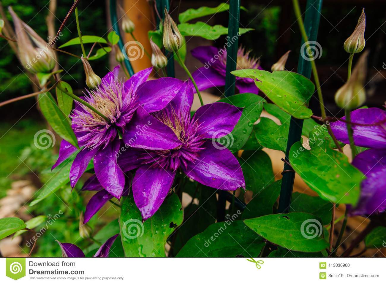 Big purple flowers named clematis or president flower after rain download big purple flowers named clematis or president flower after rain stock photo image of mightylinksfo