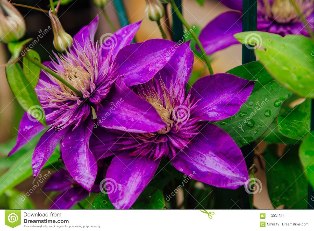 Big Purple Flowers Named Clematis Or President Flower After Rain