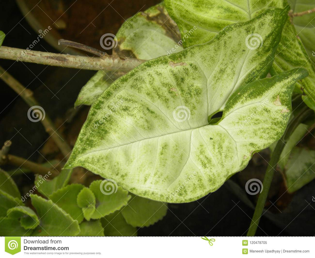 Big White And Green Color Leaf Of Caladium Plant Stock Image - Image ...