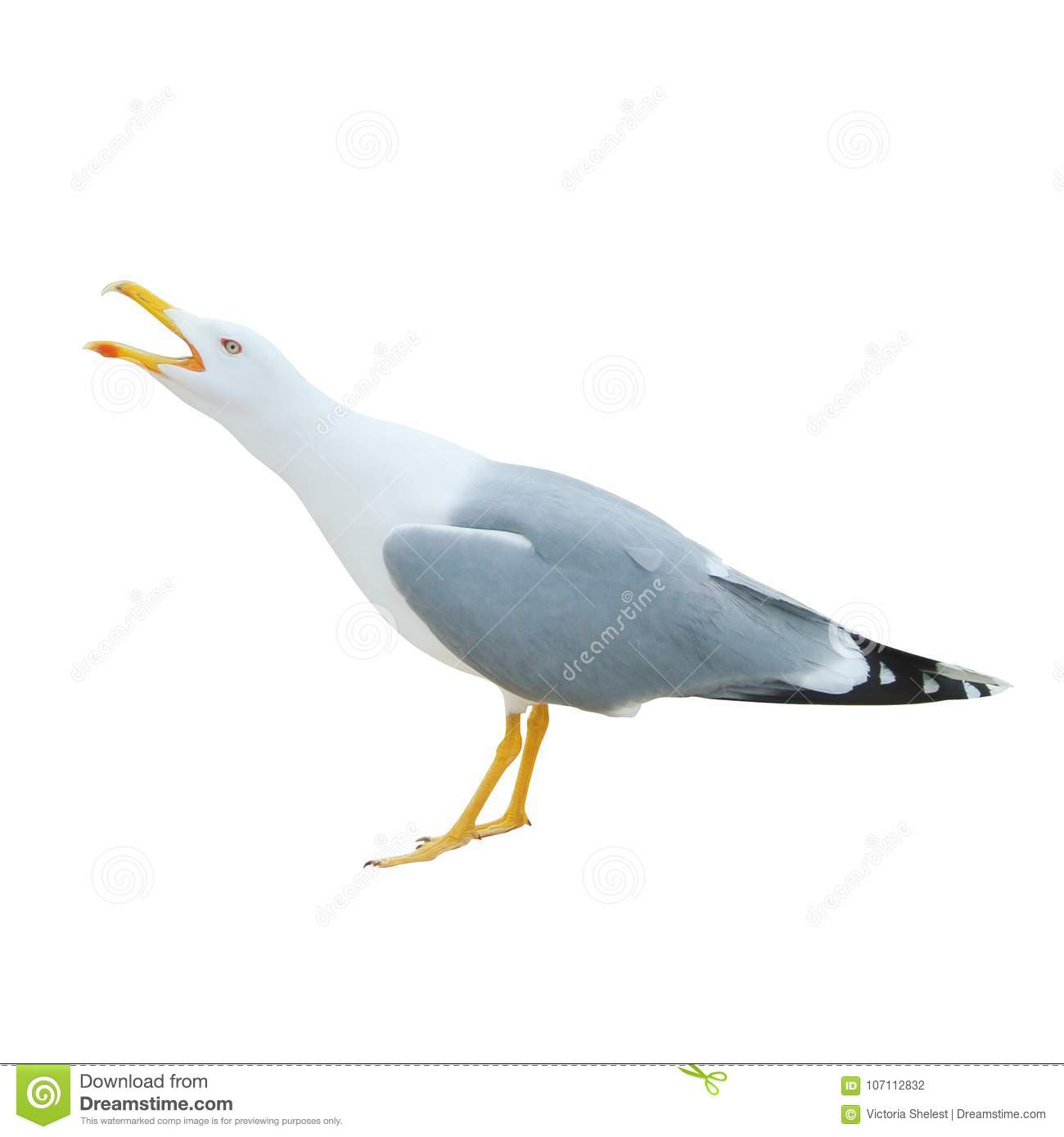 Close-up Of Big White Seagull Standing Screaming Crying With