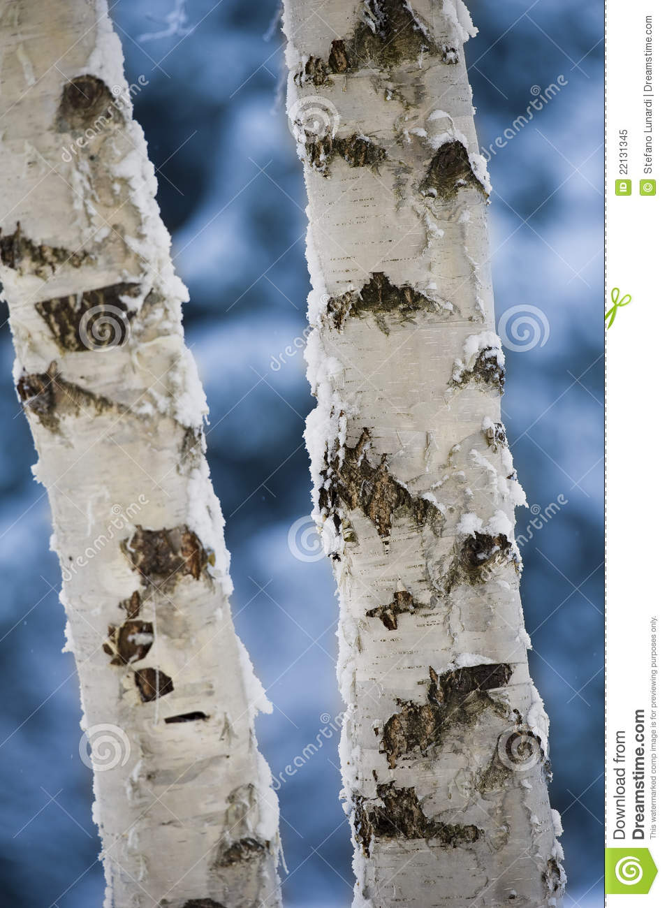 what is a tree trunk covered with 4 letters - close up of birch tree trunks stock image image 22131345