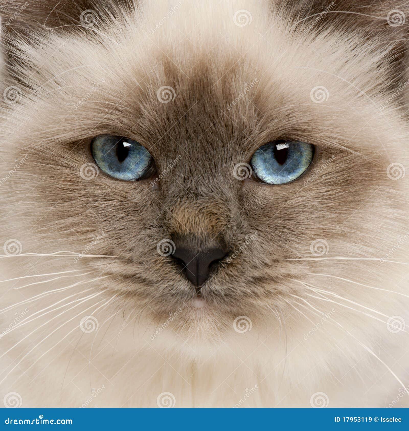 Close-up of Birman cat s face