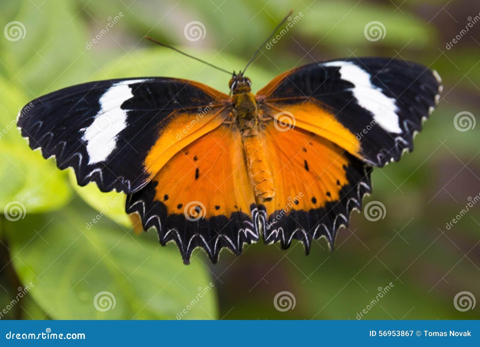 Papillon Noir Et Orange