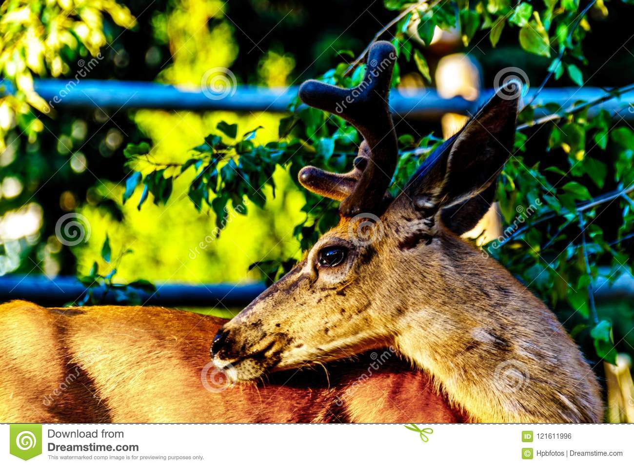 Close Up of a Black Tailed Deer in the alpine village of Sun Peaks in the Shuswap Highlands