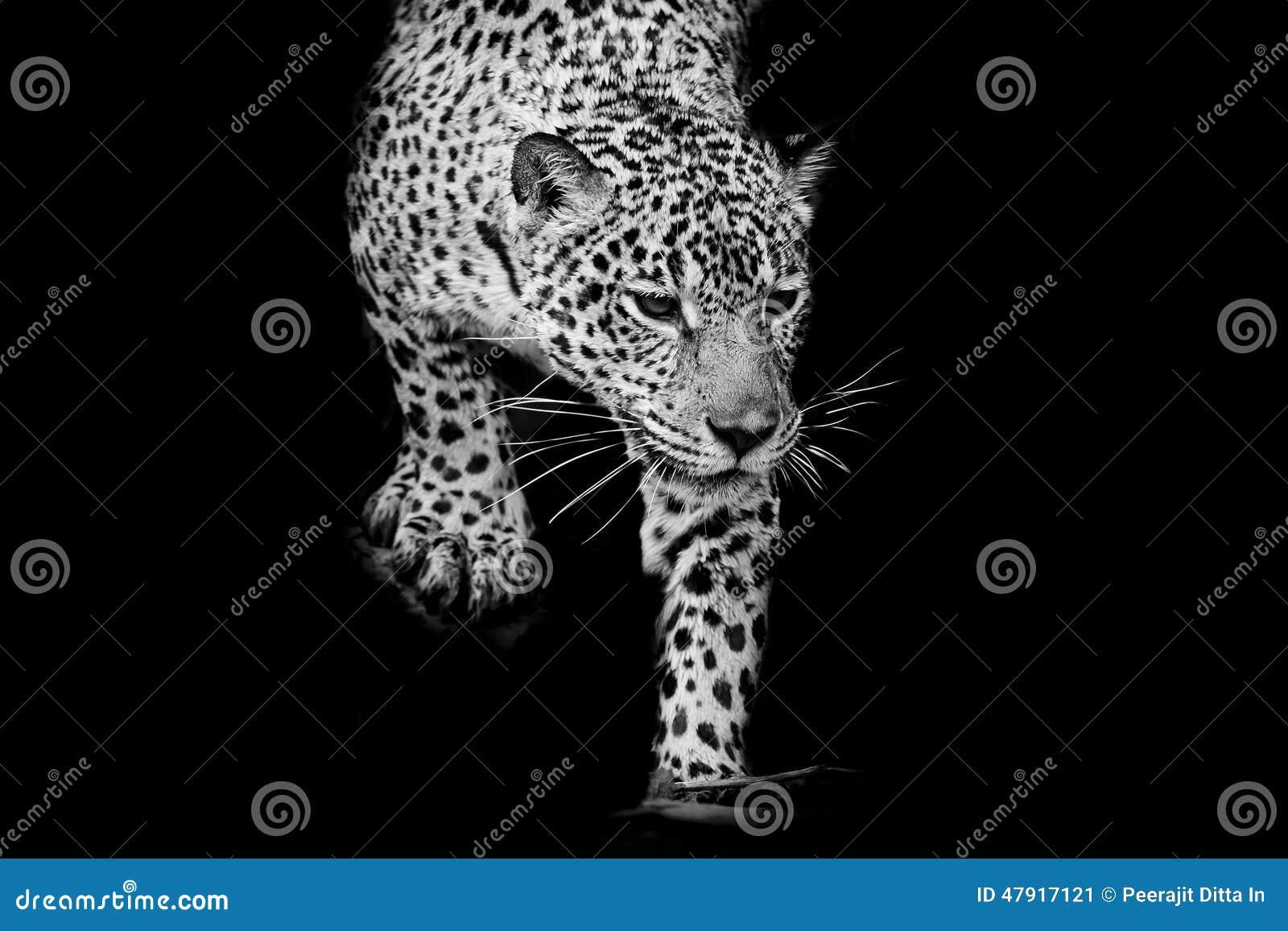 Close up black and white jaguar portrait