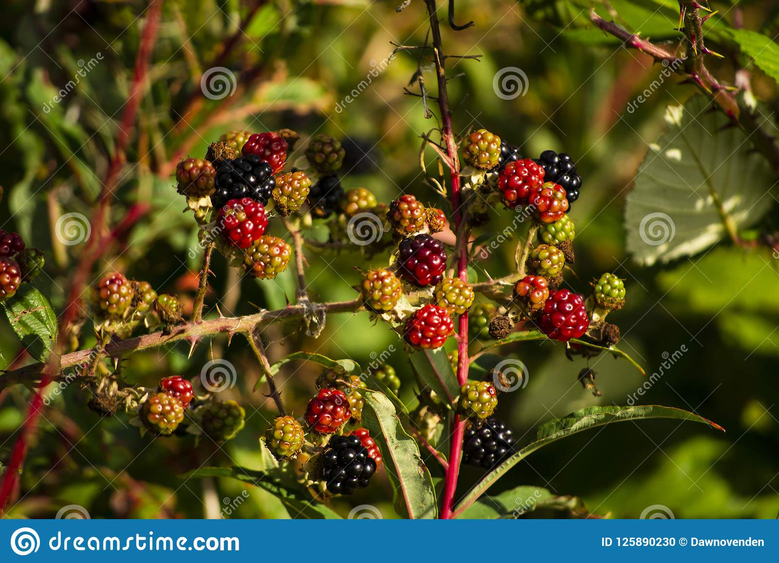 Close up of blackberries on the bush