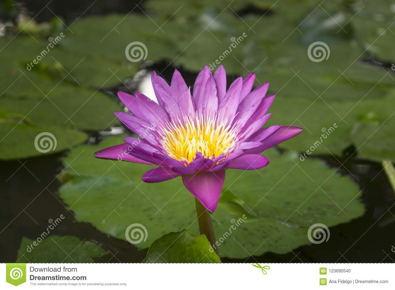 Close up of blooming pink lotus flower blossom surrounded by water download close up of blooming pink lotus flower blossom surrounded by water lily leaves stock photo izmirmasajfo
