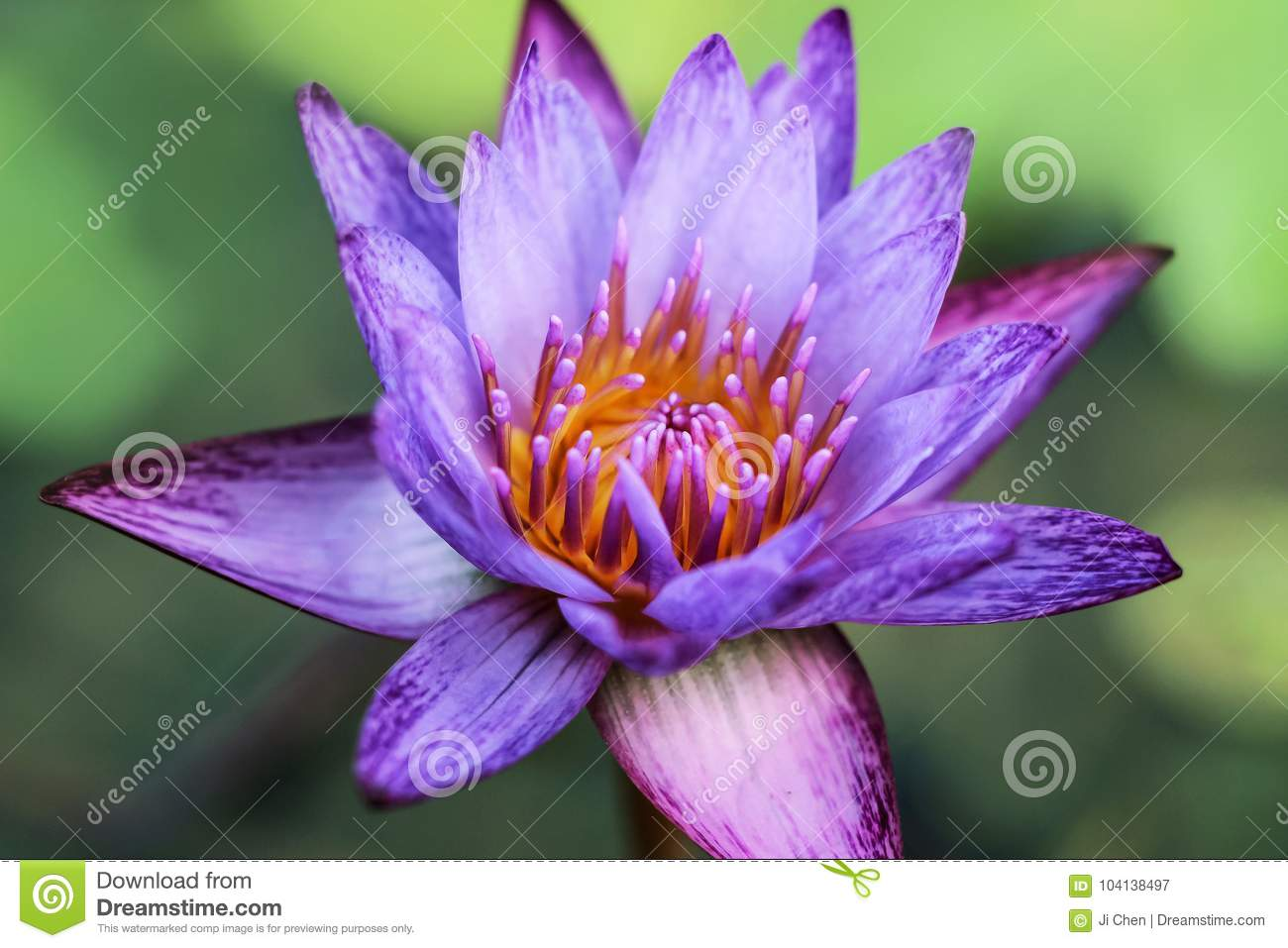 Close up of purple water lily flowers stock image image of growth close up of purple water lily flowers izmirmasajfo