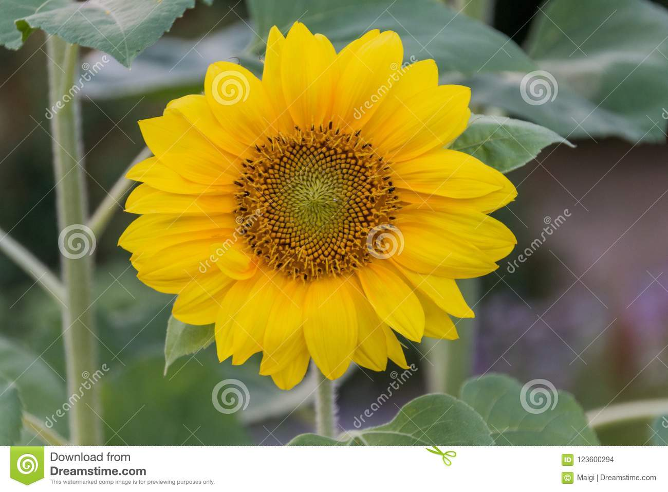 Download Close-up Of A Blooming Sunflower Stock Photo - Image of garden, large: 123600294