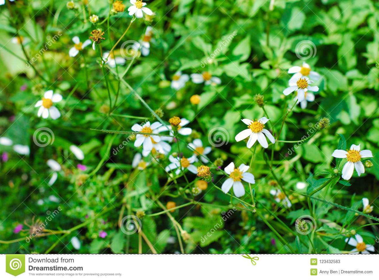 Close Up And Blooming White Plains Blackfoot Daisy Stock Image