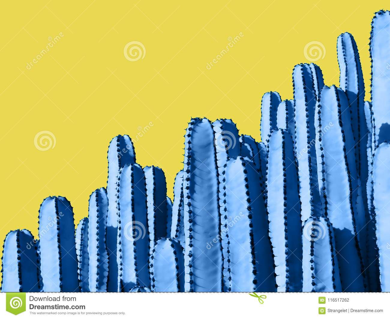 Close up of blue Euphorbia cactuses isolated on yellow Background.