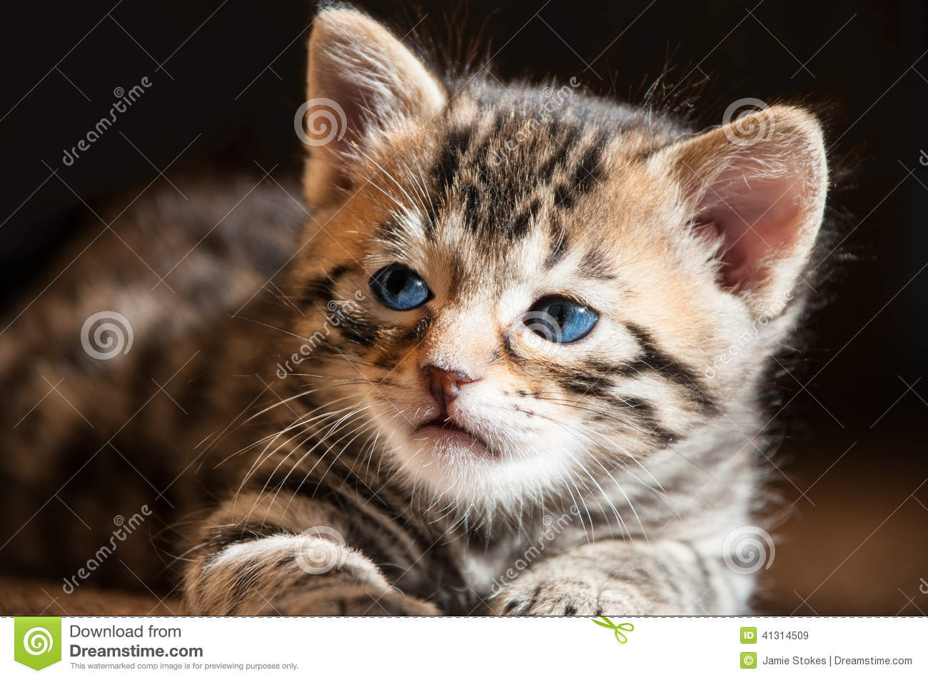 Close Up Of Blue Eyed Bengal Kitten In The Sun Stock Image - Image ...
