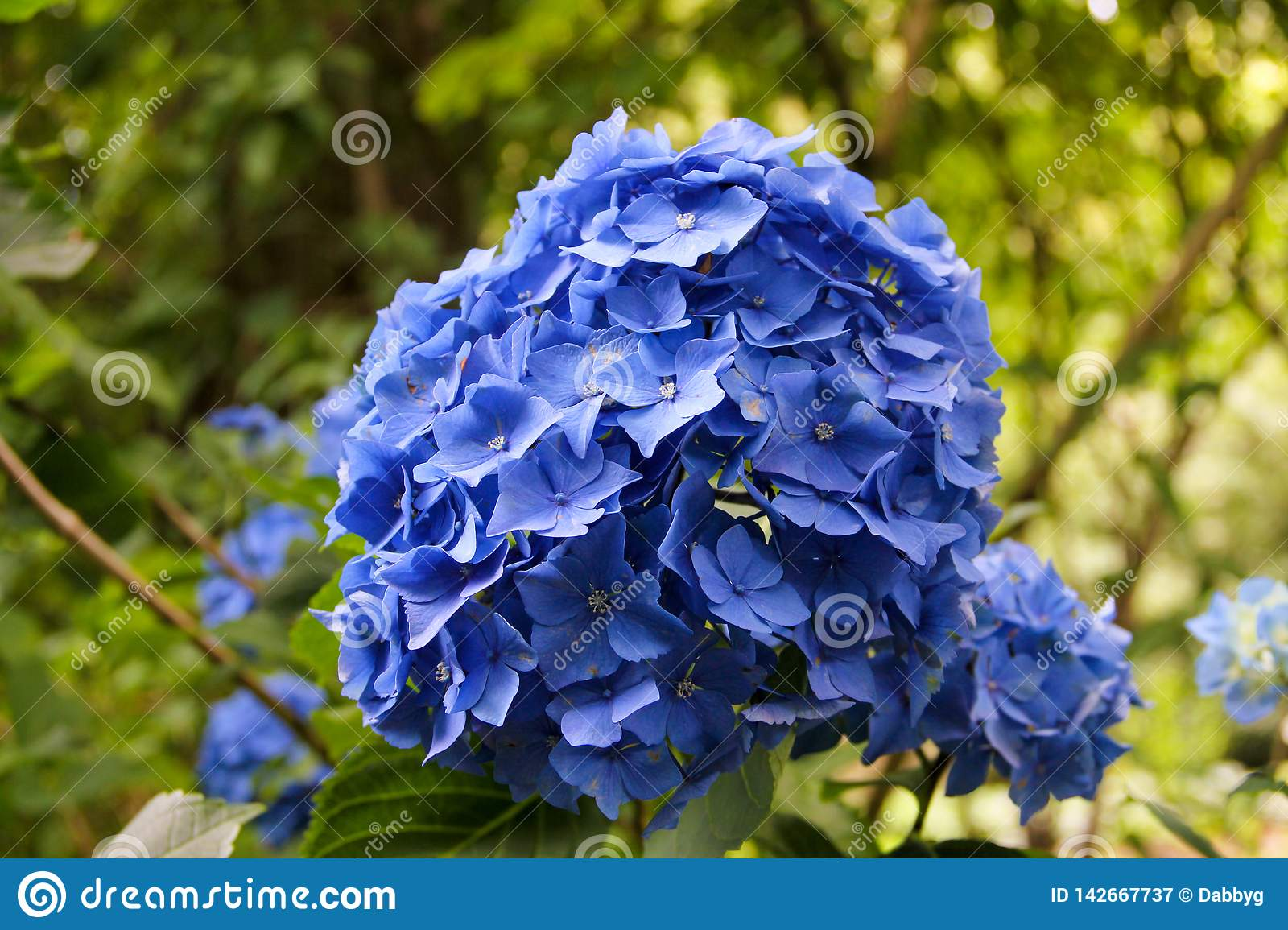 Blue Hydrangea in full bloom.
