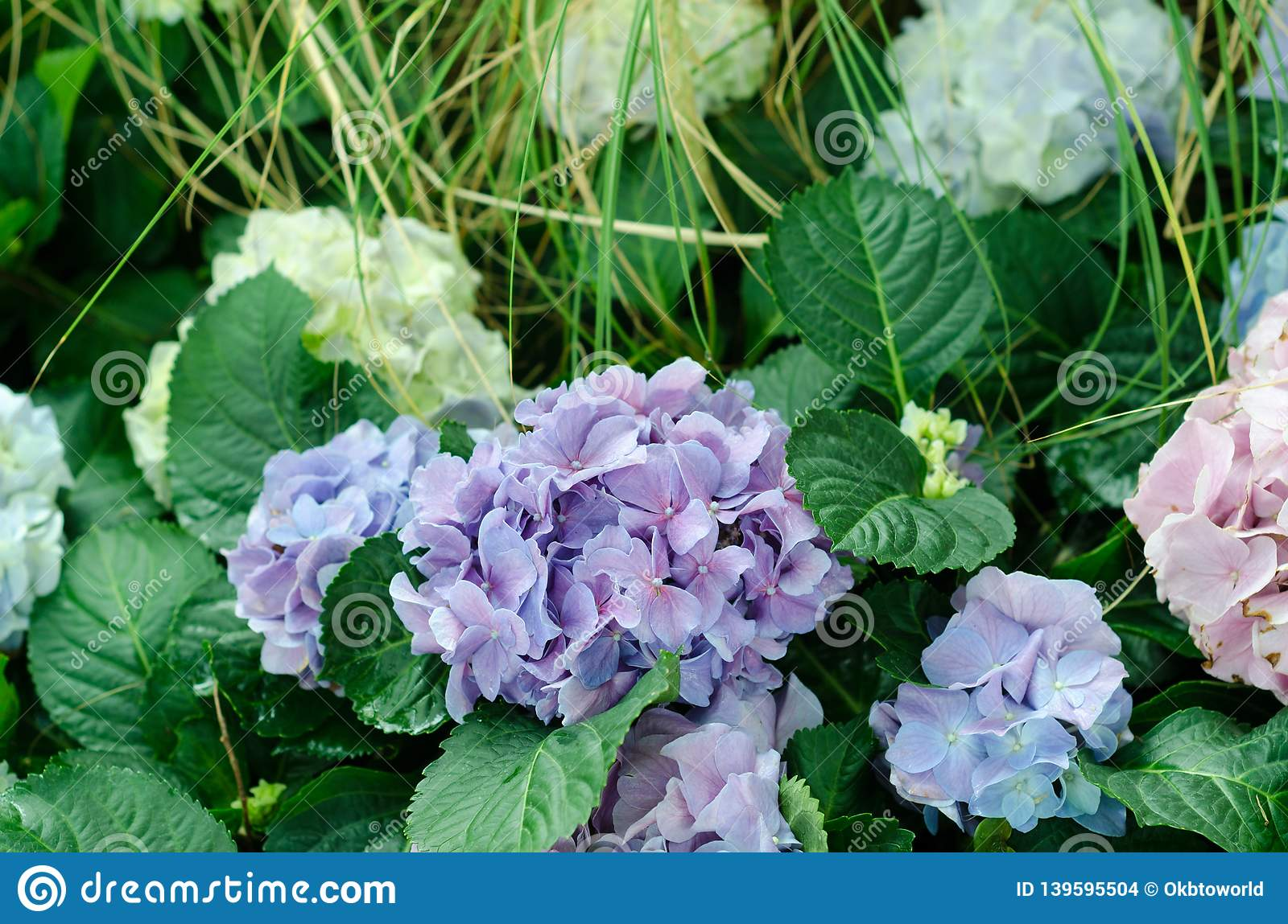 Close Up Of Blue Pink Hydrangea In The Garden In Flower Festival At