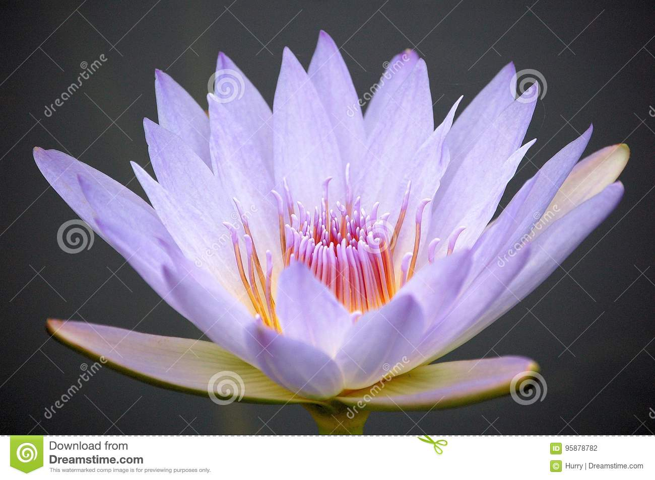 Close up of a blue water lily flower stock photo image of purple close up of a blue water lily flower izmirmasajfo