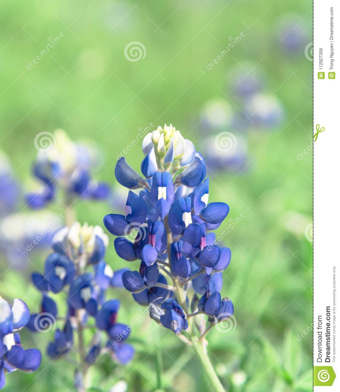 Close Up Of Bluebonnet The State Flower Of Texas Usa Stock Image