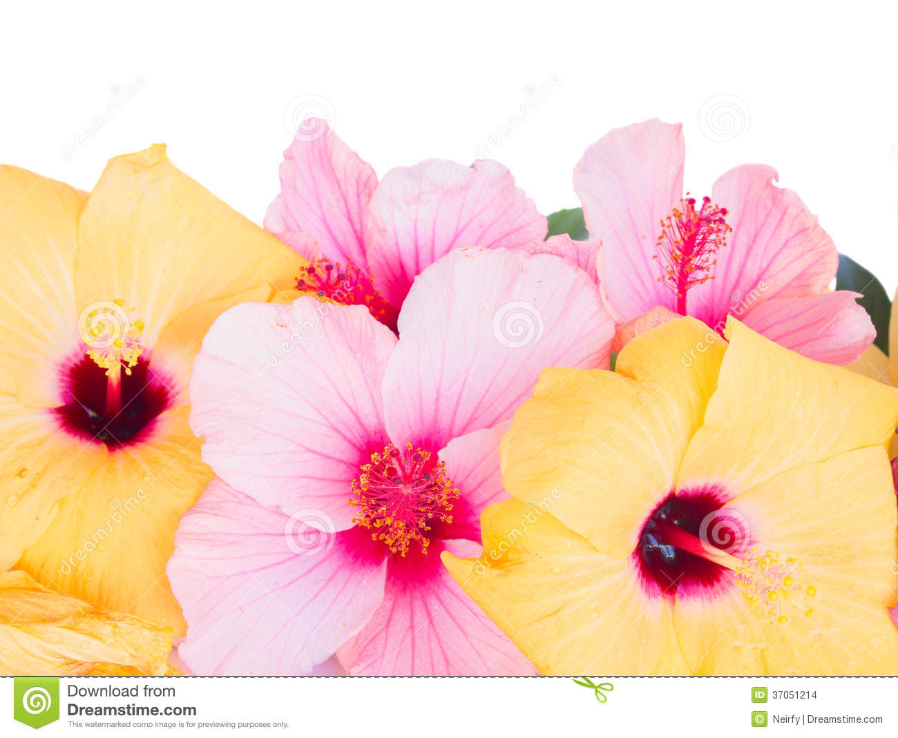 Close up border of colorful hibiscus flowers stock photo image of download close up border of colorful hibiscus flowers stock photo image of flower gibiscus izmirmasajfo