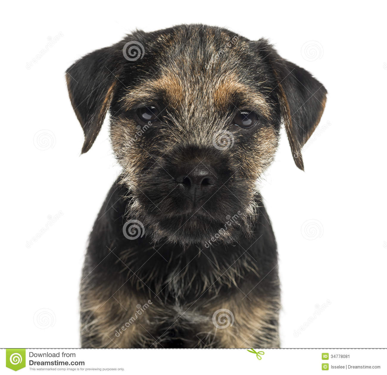 Close-up of a Border Terrier puppy, looking at the camera