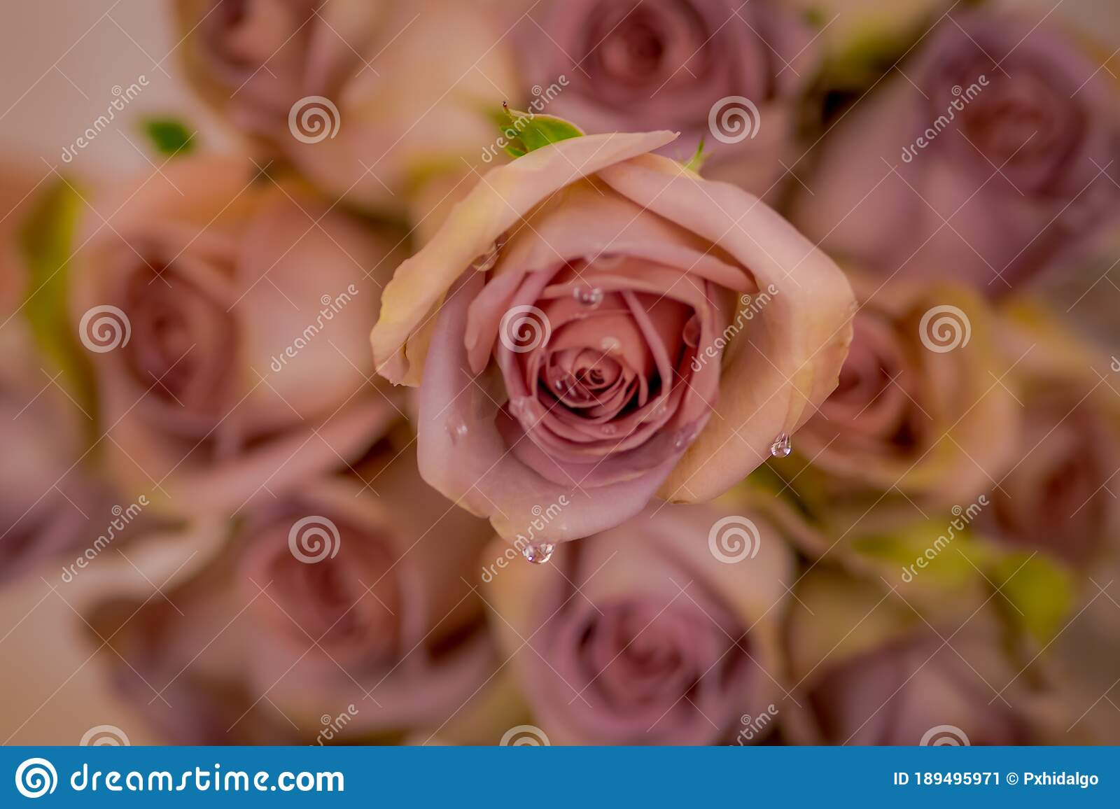 Close Up Of A Bouquet Of Amnesia Roses Variety Studio Shot Pink Flowers Stock Image Image Of Background Rose 189495971