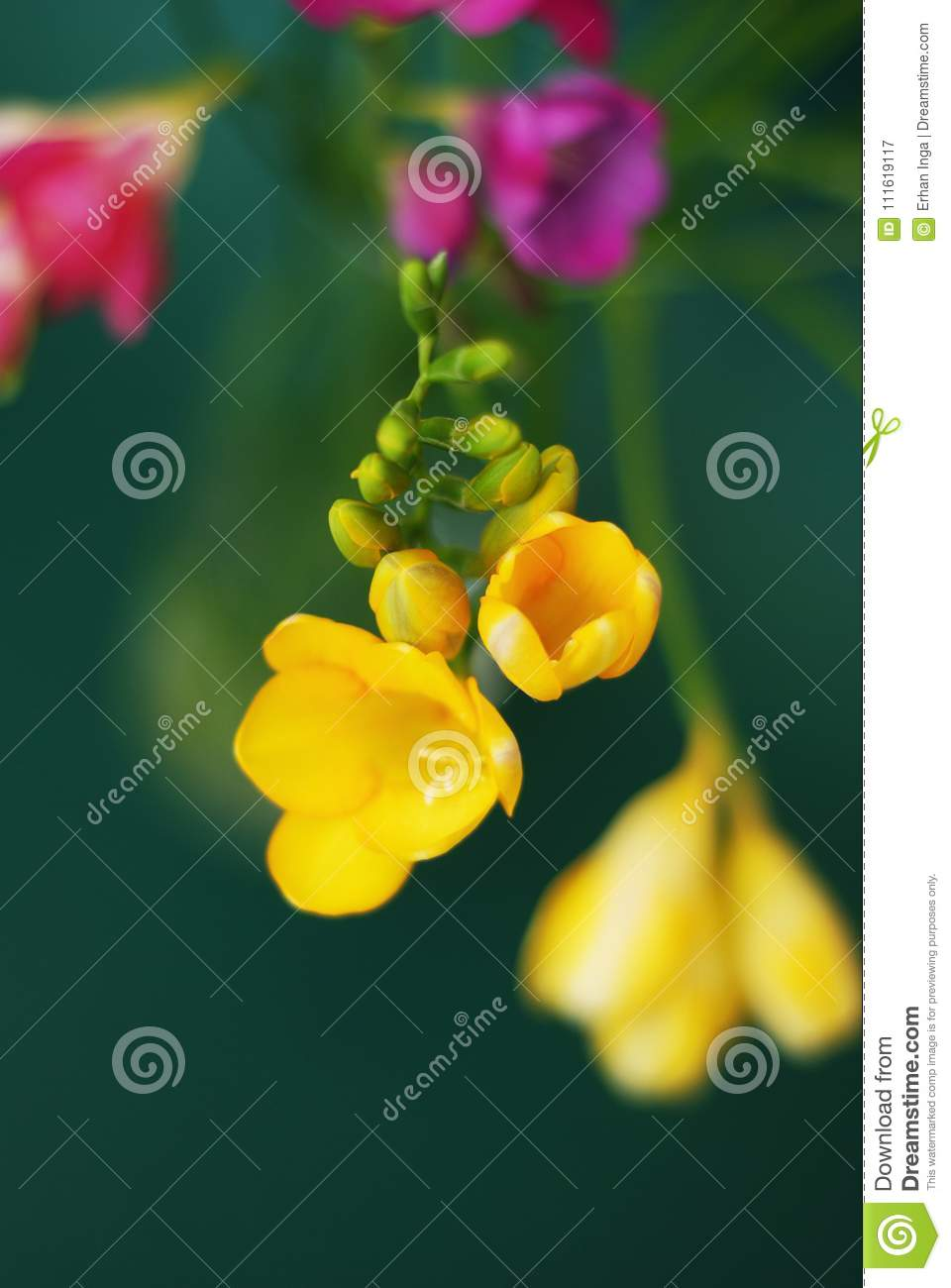 Close Up of Bouquet of spring Pink and Yellow Freesia flowers on green background