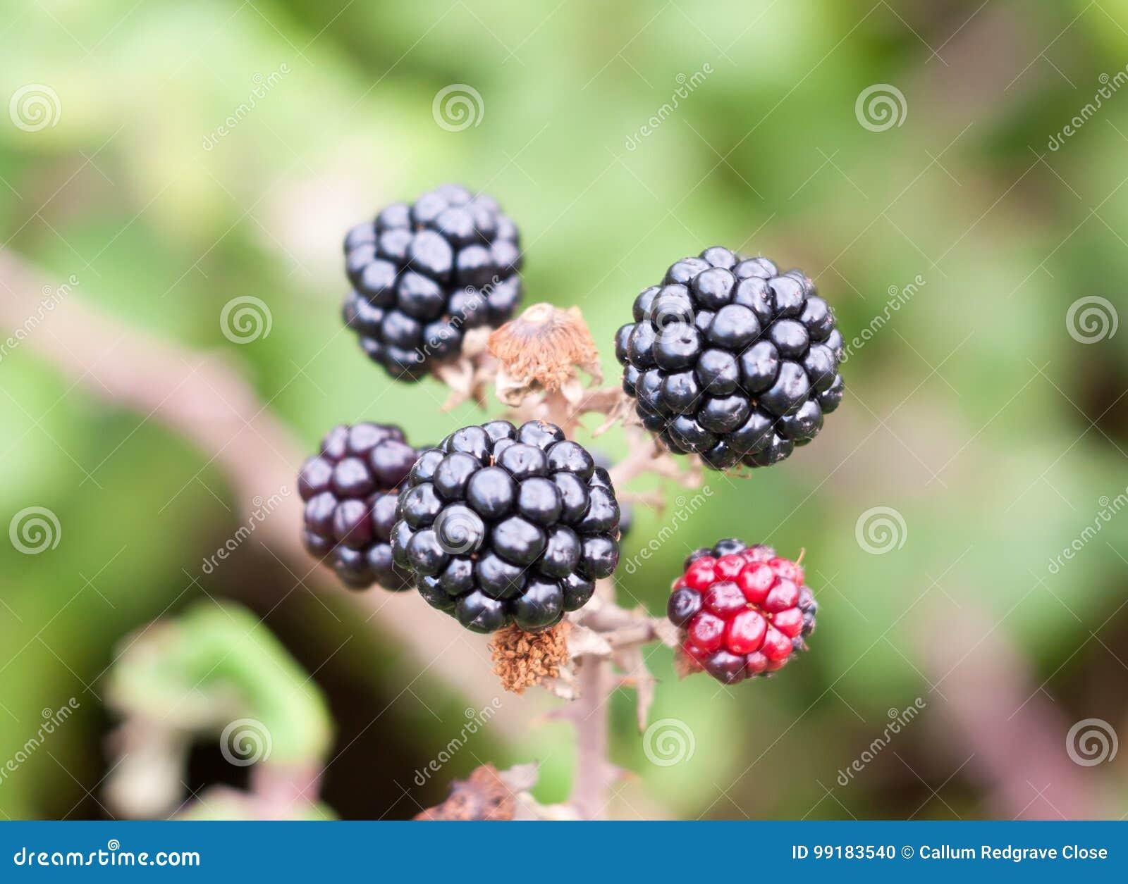 Close Up Of Bramble Fruit Blackberries Rubus Fruticosus