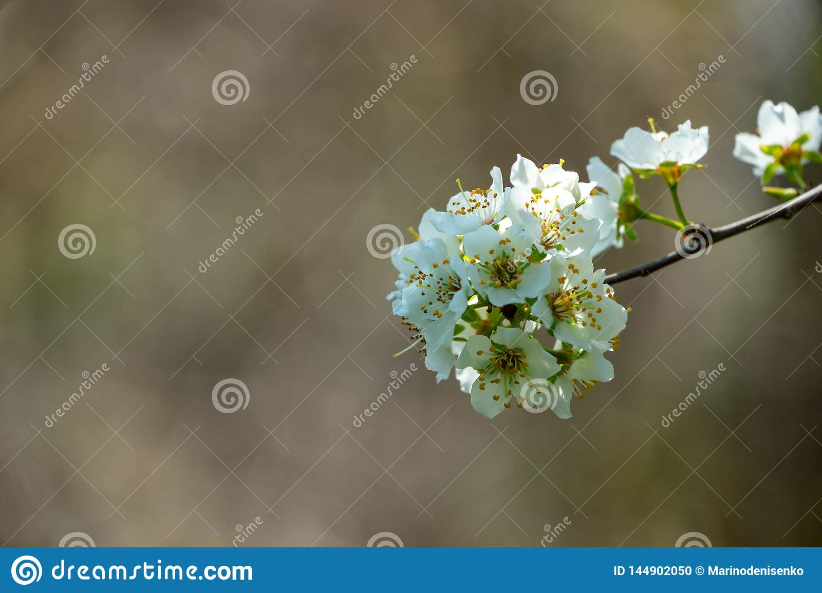 Close-up branch of white cherry plum flowers blossom in spring. Lot of white flowers in sunny spring day on gray blurred backgroun
