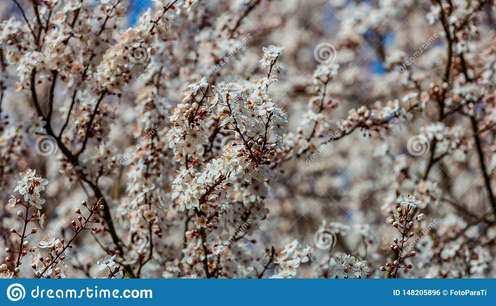 Close up the branches of a cherry tree in full bloom with its white flowers