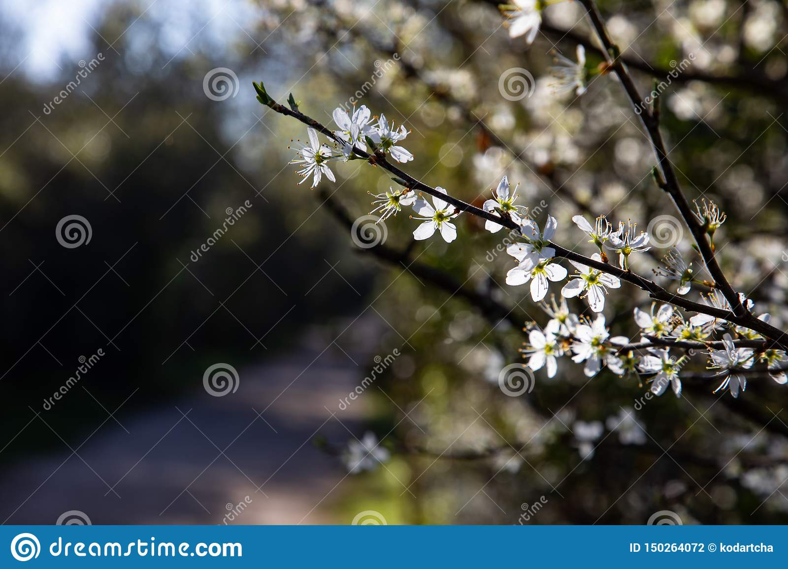 Close up of branches with white flowers and copy space