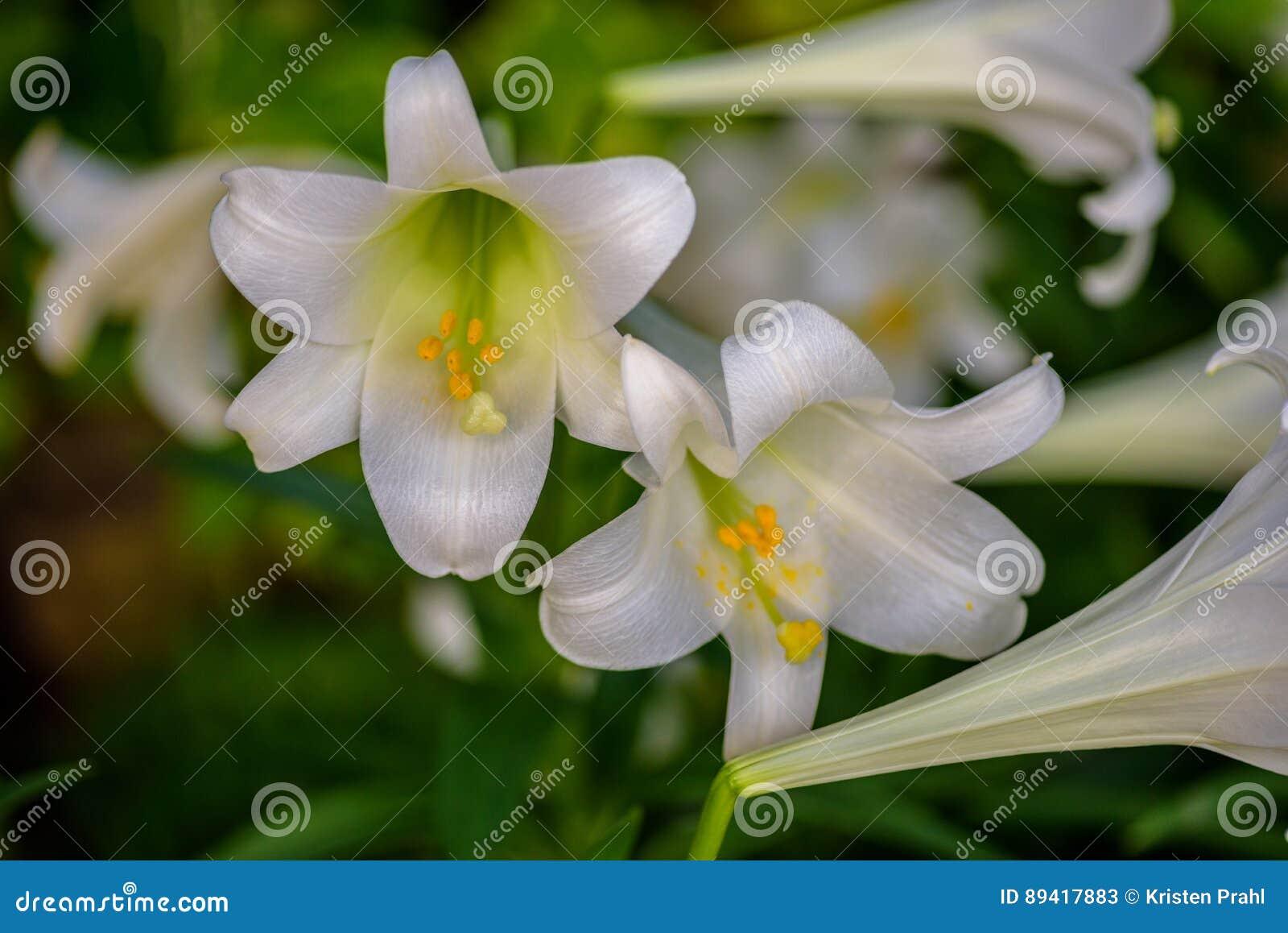 Close up branco das flores do lírio de Páscoa