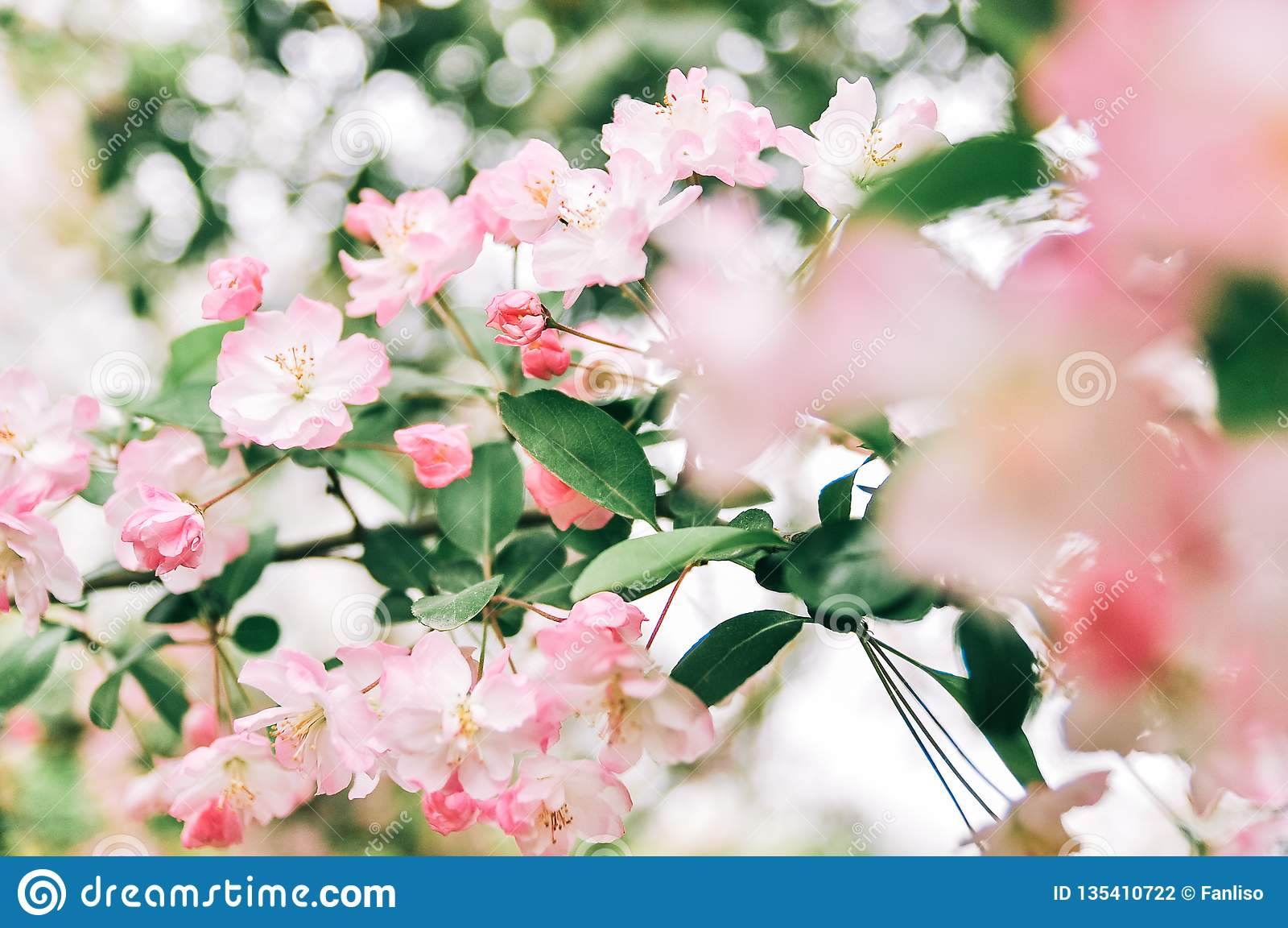 Flowering Crabapple Malus Halliana Or Begonia Pink Flower