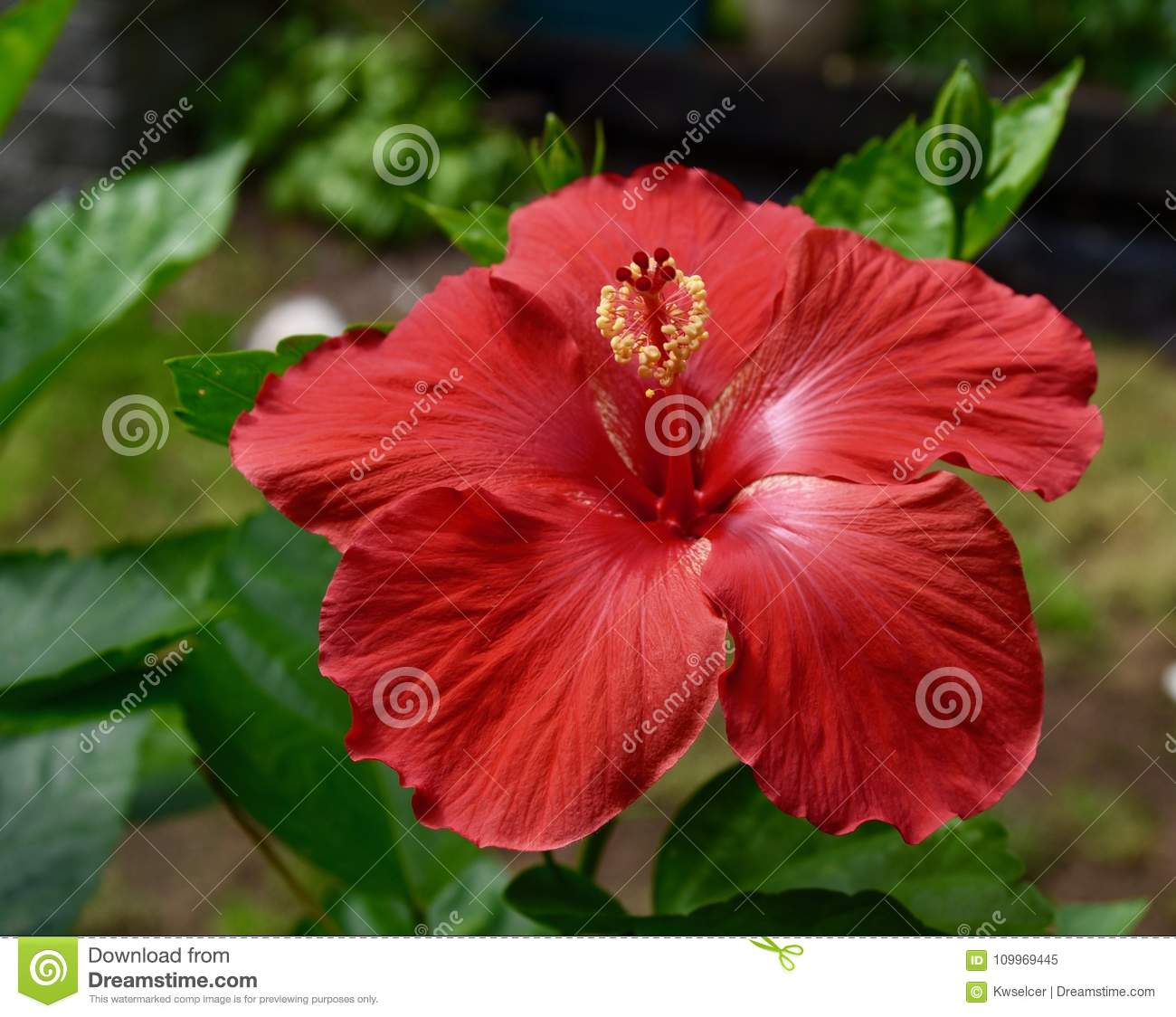 Striking Red Hibiscus Flower And Green Leaves Stock Image Image Of